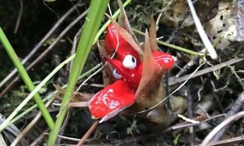 ミョウガの赤い花