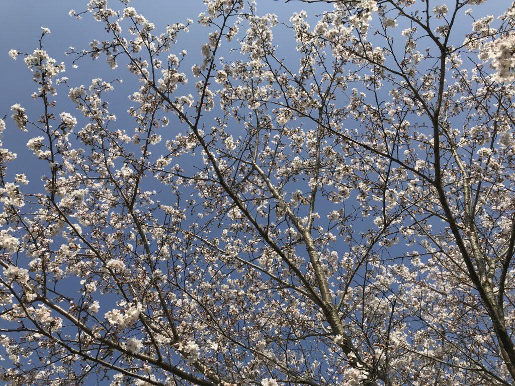 桜の花が咲いている写真