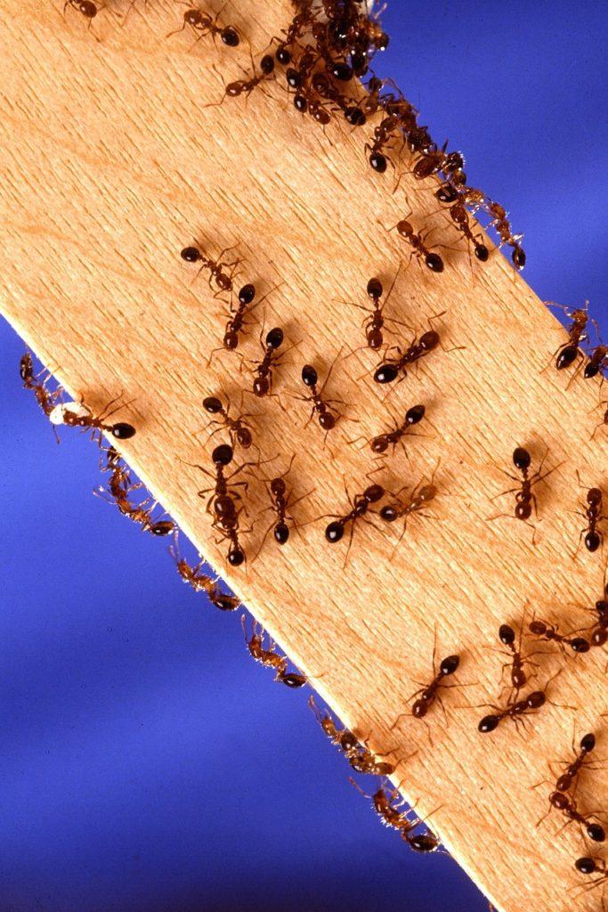 アリの群れ
