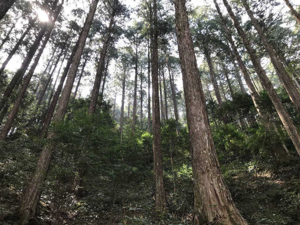 【滑床渓谷】のヒノキ林