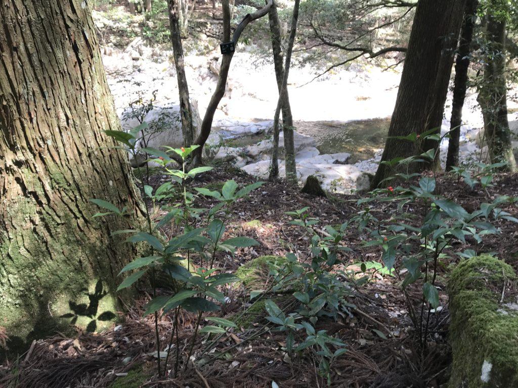 【滑床渓谷】に自生する植物【センリョウ】