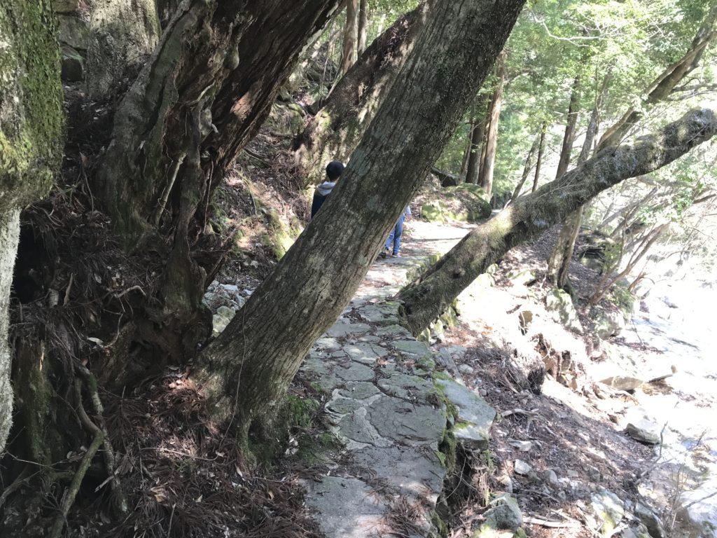【滑床渓谷】の探勝歩道に突き出た立木の様子