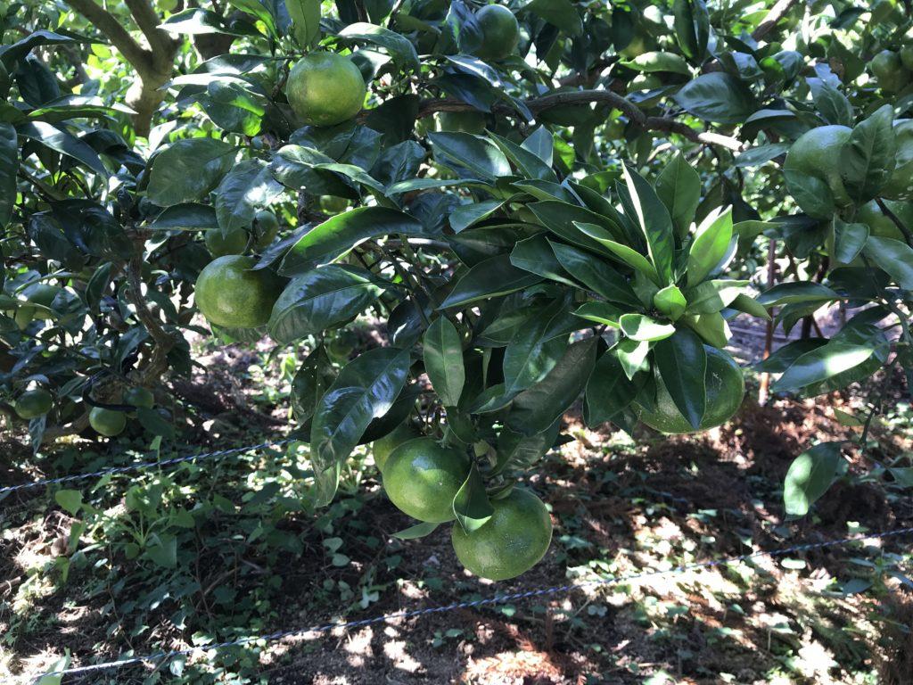 果実が実ったみかんの木