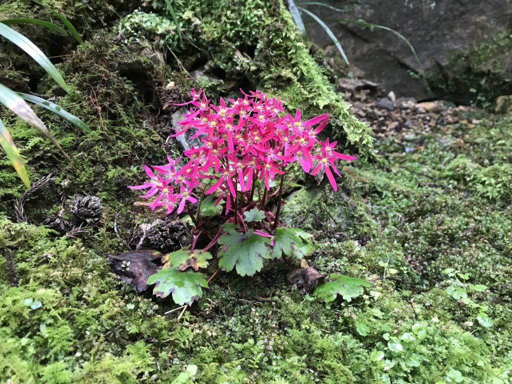 『こけむしろ』の苔庭に咲く【ユキノシタ】