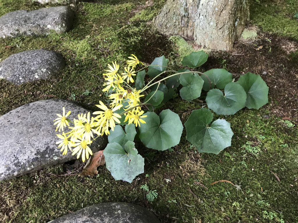 『こけむしろ』の苔庭に咲くツワブキ