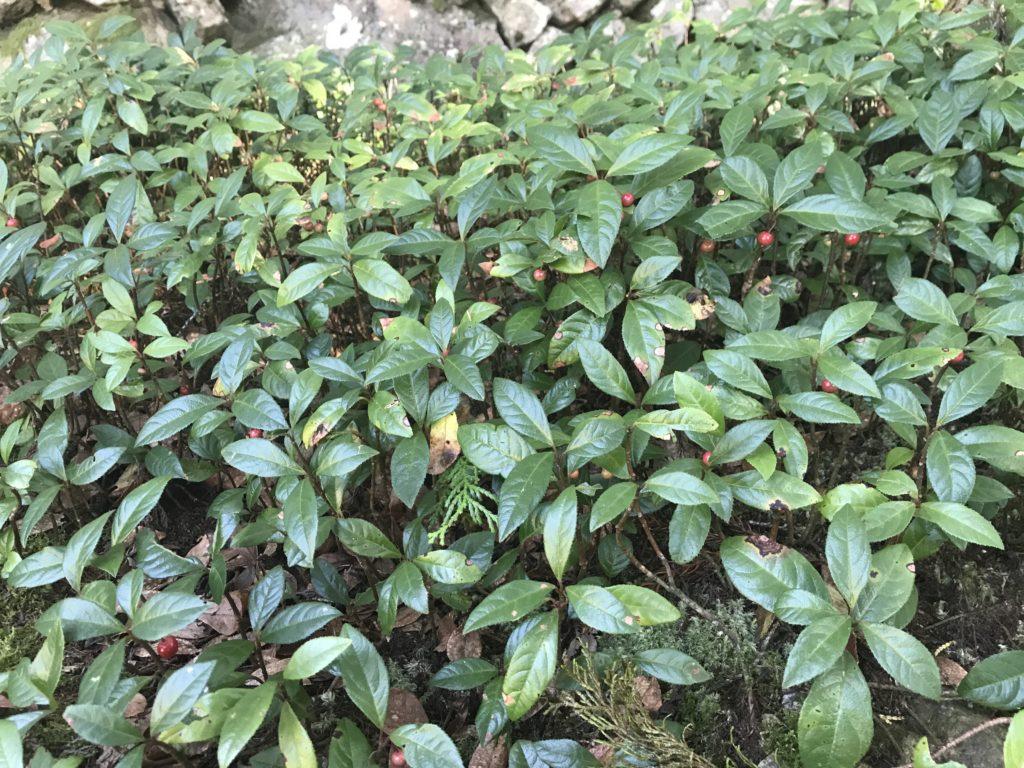 『こけむしろ』の苔庭に生えている植物