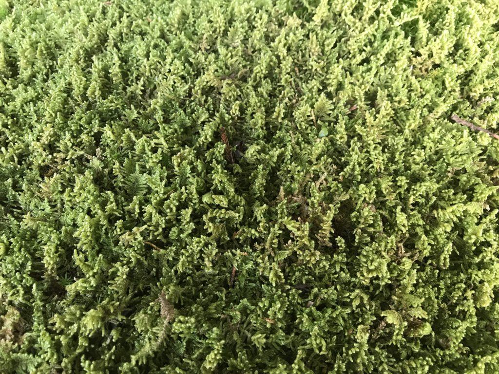 『こけむしろ』の苔庭に生える苔の一種