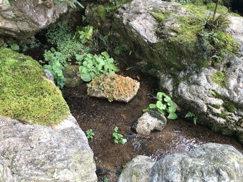 『こけむしろ』の苔庭の隣へ続く庭に生えているわさび