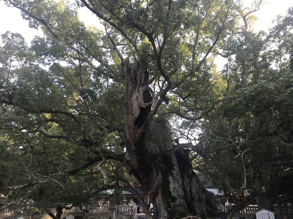 大山祇神社の天然記念物の大楠