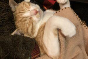 猫が仰向けで寝ている様子